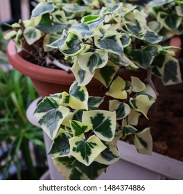 English Ivy Plant with lush and beautiful creeping vines on a balcony garden