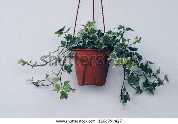 English Ivy Plant Pot Stock Photo (Edit Now) 1166799427 on ivy houseplant, yucca elephantipes house plant, ivy water plant, ivy ice plant, ivy flower, ivy indoor plant,