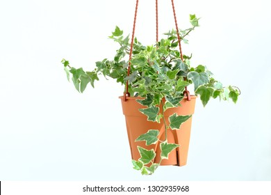 English ivy plant in pot, Houseplant decor
