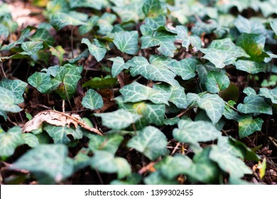 English ivy spreads on the ground and forms a lawn.