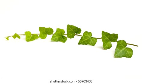 English Ivy vine and leaves.