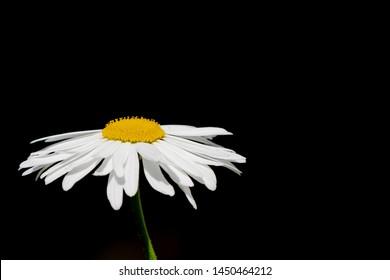 English Large Daisy or Shasta Daisy on a black background