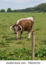 English Longhorn Cattle (Bos primigenius) Grazing in a Field on a Farm within Exmoor National Park in Rural Somerset, England, UK