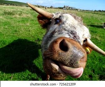 English Longhorn heifer