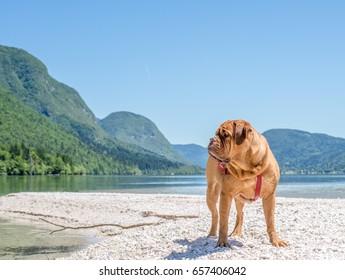 English mastiff at the lake, Bohinj-lake