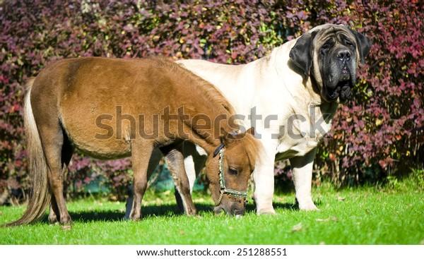 Mini english mastiff