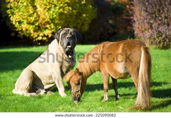 English Mastiff and minihors
