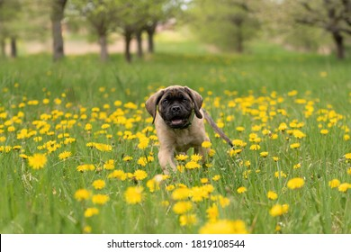 English Mastiff puppie playing in the grass, in  a meadow full of dandelions