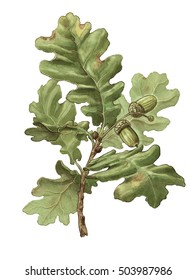 English oak (Quercus robur) branch with leaves and acorns - white (no background)