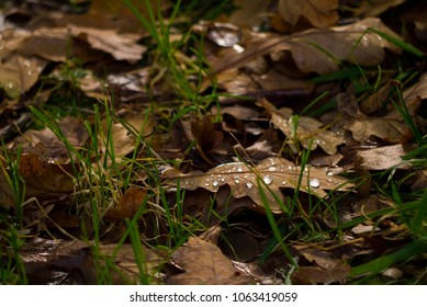 English Oak ( Quercus robur ), sometimes called the Pendunculate Oak, leaves on the forest floor in Autumn