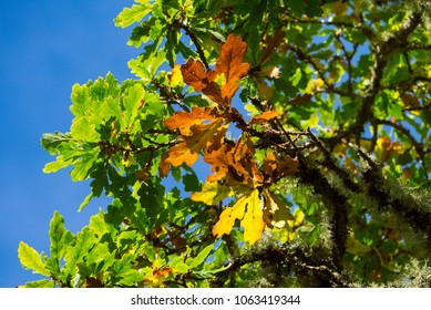 English Oak ( Quercus robur ), sometimes called the Pendunculate Oak, leaves in pictured in autumn sunlight