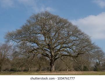 English Oak Tree (Quercus robur) in Winter in Parkland in Rural Devon, England, UK