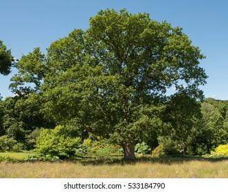 English Oak Tree (Quercus robur) in a Wild Flower Meadow full of Thistles (Cirsium dissectum) and Dandelions (Taraxacum) at Rosemoor in Rural Devon, England, UK