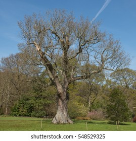 English Oak Tree (Quercus robur) in Spring in a Wild Flower Meadow with a Vapour Trail in the Sky in Rural Devon, England, UK