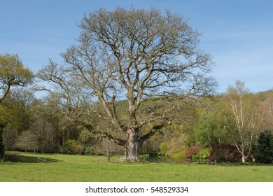 English Oak Tree (Quercus robur) in Spring by a Lake in a Wild Flower Meadow in Rural Devon, England, UK