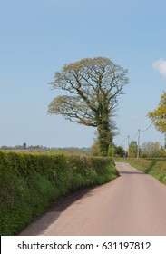 English Oak Tree (Quercus robur) in Spring on the Side of a Country lane in Rural Devon, England, UK