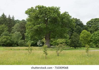English Oak Tree (Quercus robur) in a Wildflower Meadow at Rosemoor in Rural Devon, England, UK