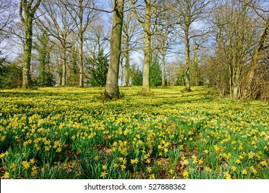 English Oak trees and wild daffodils, Narcissus pseudonarcissus, in spring near to Dymock, The Royal Forest of Dean, Gloucestershire, United Kingdom