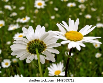 English oxeye daisy daisies flower bush in the nature or in the garden