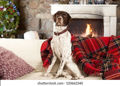 english pointer dog at home