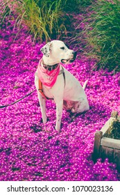 English pointer mix phenotype white dog in black dots with red leather collar with medallion and bandanna on purple delosperma flowers. Photos are toned and with a vignette