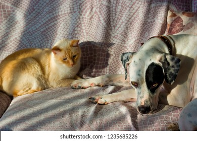 English pointer mix phenotype white dog in black dots and Thai white with red marks cat with blue eyes cat playful lie on the couch on a sunny day close-up shallow depth of field