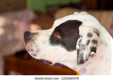 English pointer mix phenotype white dog in black dots muzzle close-up shallow depth of field