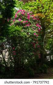 English Public Garden at late Spring with Green Trees and Blooming Rhododendrons