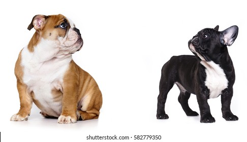 English puppy and French buldog
