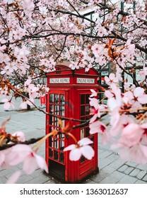 English Red Telephone Box in London With Blooming Sakura Tree