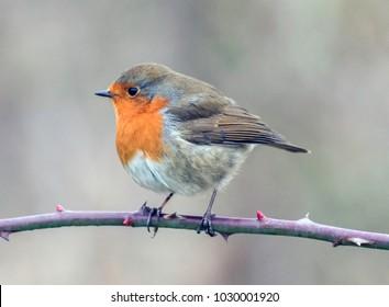 English robin in the UK