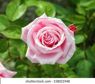 English Rose, award winning variety - 'Pink Perpetue'