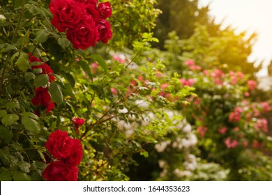 English Rose Garden on a Summer Day with Sun Glow