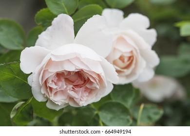 English rose - Mary rose