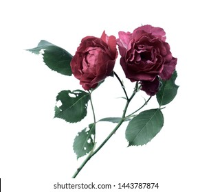 English rose on a white background, a branch with two red buds.