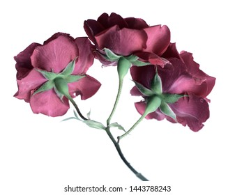 English rose on a white background, a branch with three red buds.