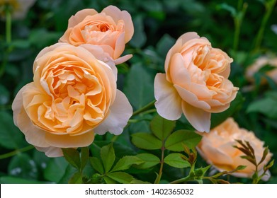 "English Rose ""Roald Dahl"" an apricot colored double rose"