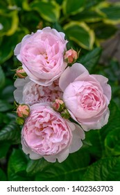 "English Rose ""Sceptered Isle"", a double pink rose flower"