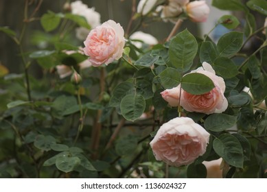 "English rose ""Sharifa Asma"" (close up)"