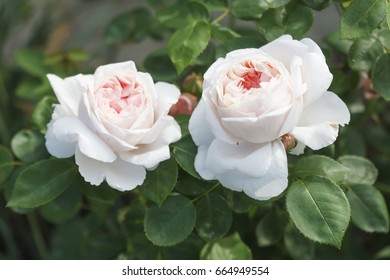 English rose - St. Swithun rose