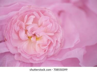 "English rose ""Strawberry Hill""  (close up, macro)"