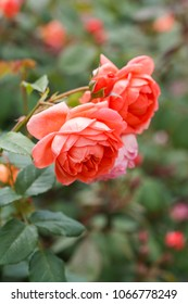 English Rose - Summer Song