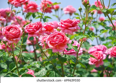 English roses garden in Sennan City, Osaka, Japan