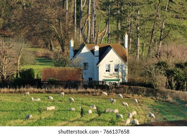 An English Rural Winter Landscape in the Chiltern Hills with grazing Sheep and white house