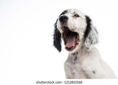 english setter baby dog on white background isolated