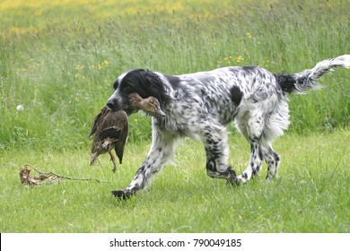 english setter - hunting dog
