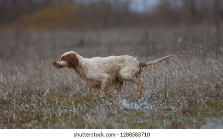 fbed5c89f0790 English setter. Hunting dog. On hunting with an English setter. The dog runs