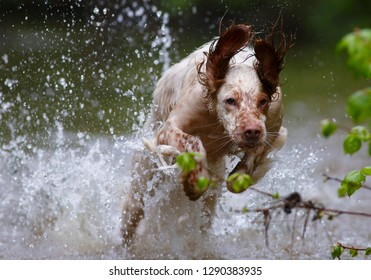English setter. Hunting dog. Pointing dog. On hunting with an English setter. The dog runs on water.