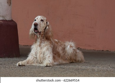 English setter laying on old architecture background, royal white dog
