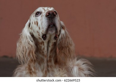 English setter looking up portrait, longhaired white and brown hunting breed dog on orange background